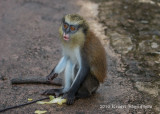 Mona Monkey 1267.jpg