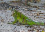 Green Iguana (subadult) 0551.jpg