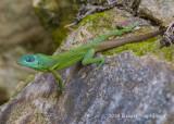 Grenada Tree Anole-1236.jpg