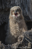 Great Horned Owl-4491.jpg