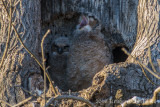 Great Horned Owl-4529.jpg