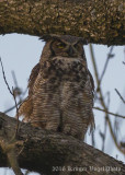 Great Horned Owl-4594.jpg
