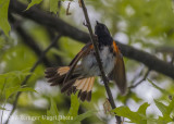 American Redstart (male)-5233.jpg