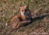 Red Fox-0064.jpg