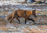 Red Fox-0030.jpg
