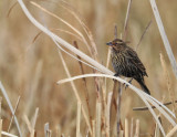 Red Winged Blackbird - Female