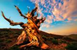Bristlecone Pine Ancient sunrise
