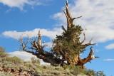 Ancient Bristlecone Pine Forest, CA