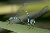 mating damselflies 2