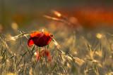 late-day poppy