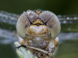 slumbering dragonfly