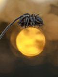 god's lamp shade