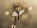 wings of pearl