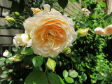 Single Rose with Buds