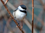 Blackcapped or Mexican Chickadee?