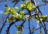 Crab Apple Tree New Foliage