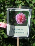 Dames de Chenonceau Roses