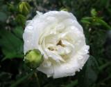 White Dawn Roses