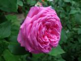 Dan Poncet Roses