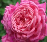 Dan Poncet Rose