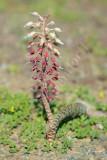 Flowers of the Roggeveld escarpment and Tanqua Karoo