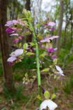 Orchidaceae (Orchids)