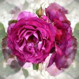la vie en rose...