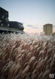 Ornamental Wheat