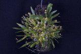 20124611  -  Onicidium unguiculoides  'Silas'  CCM/AOS  (80-points)  4-28-2012.jpg