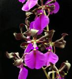 20132722  -  Epidedendrum cordigera  'Palmer Orchids'  FCC/AOS  (90 - points)   6-8-2013.jpg