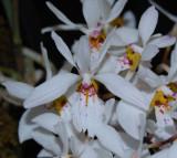 20132774  -  Holcoglossum wangii  'Silas'   AM/AOS  82-points   11-10-2103