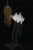 20132775  -  Holcoglossum  wongii  'Silas'   CCM/AOS  (84-pionts)  11-10-2013