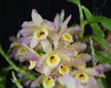 20132753  -  Dendrobium Fortune 'Hawaiian Sunset'  CCM/AOS  (86-points)  2-2-2013  Close-up.jpg