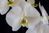 20132716  -   Phal. Whie Dream  'V3'  AM/AOS  (83-points)  4-6-2013 close-up close-up.jpg