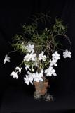 20142546   -  Dendrobium papilio 'Seward Goddess'   CCM/AOS  (82-points)  1-28-2014