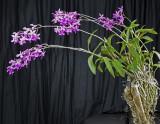 20142557   -  Barkeria scandens  'Lorraines Surprise'  CCM/AOS  (86-points)  2-1-2014 a