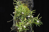 20142562  -  Schoenorchis micrantha  'Silas'  CHM/AOS  (82-points)  2-1-2014 a