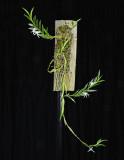20142563  -   Angraecum doratophyllum  'Silas'  CBR/AOS 2-1-2014 a