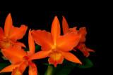 20142582  -  Ctt. Jewel Box  'Orange'  HCC/AOS (77-points)  3-1-2014