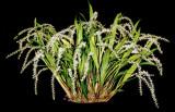 20142609  -  Dendrochilum stenophyllum  'My First'  CCM/AOS (84-points)  (Rose Matchen)