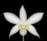 20142612  -  Dendrobium White Grace  'Sato'  AM/AOS  (83-ponts)  3-8-2014   Close-up Dave Brightwell