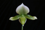 20142574  -  Paph. Janet Kunkle 'Mary's Emerald' AM/AOS (81-points)  3-15-2015  (Mary Kandis)