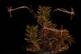 20142567  -  Cryptocentrum  peruvianum  'Silas'  CBR/AOS  2-15-2014  (Walter Carawford)
