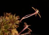 20142567  -  Cryptocentrum  peruvianum  'Silas'  CBR/AOS  2-15-2014  (Walter Carawford)  Close-up 2