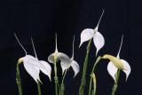 20142577  -  Masd. coccinea alba  'White Winter'  HCC/AOS  (75-points) 5-1-2014  (Orchids Ltd.