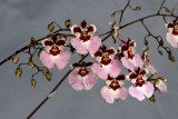 20142586  -  Rodrumnia  Orchidom Happy Choice  'Emma'  AM/AOS  (83-points)  5-1-2014  (Orchids Ltd.)