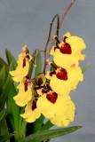 20142587 - Tolumnia Orchidom Treasured Love  'Killer Bees'  AM/AOS  (82-points)  5-1-2014  (Orchids, Ltd.)
