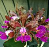 20142594   -  Cattleya  schilleriana  'Kathleen'  AM/AOS (82-points)  5-10-2014  (William Rogerson)  2