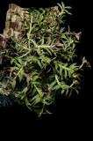 20142600  -  Epidendrum  neoporpax  'Aylin's Joy'  CHM/AOS  (81-points)  7-27-2014  (Cheryl Erins)