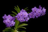 20142641  -  Vanda Parhara Delight 'Blue'  CCM/AOS  (86-points)  10-11-2014  (Tony Nuccio)